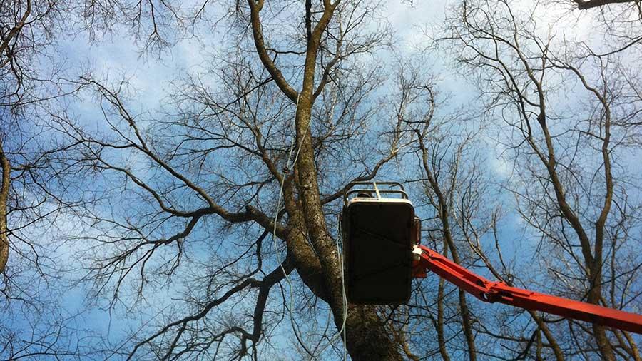 Millbrook Elm Trees