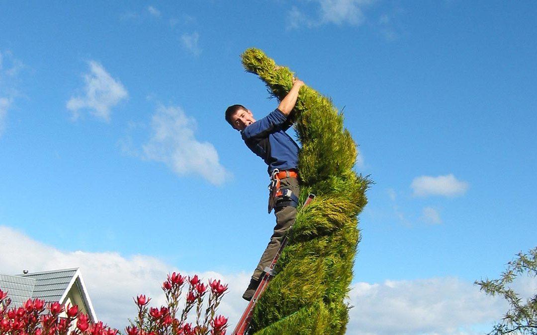 Pruning a Pencil Cedar